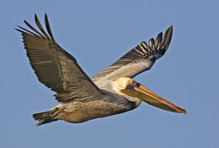 Brown_pelican_from_natures_pics-Public_domain